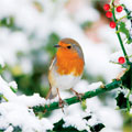 resting robin christmas card